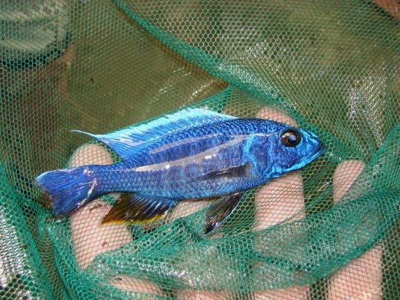 Sciaenochromis fryeri, wird nicht häufig gefangen im See.