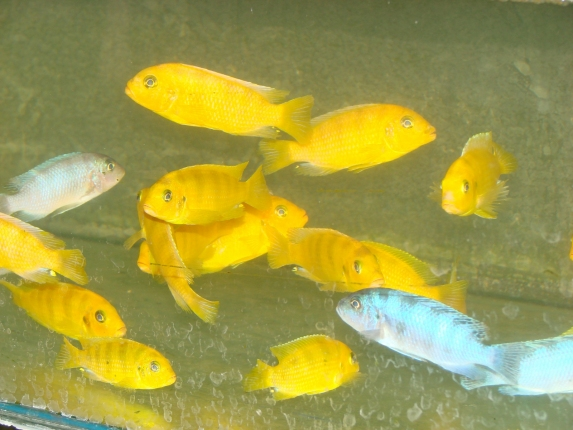 Metriaclima lombardoi Mbenji im Innenbereich der Fangstation.