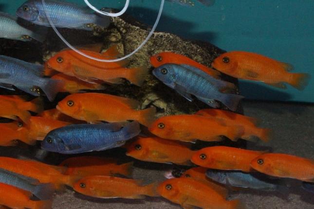 Metriaclima estherae Minos Reef WF