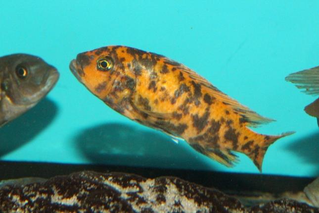 Metriaclima estherae Minos Reef OB female WF