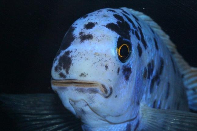 Labeotropheus fulleborni Eccles Reef MC male WF