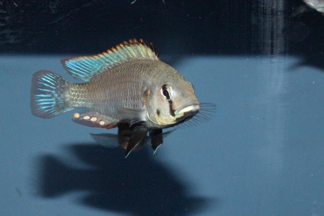 Astatotilapia-calliptera-Chizumulu-WF