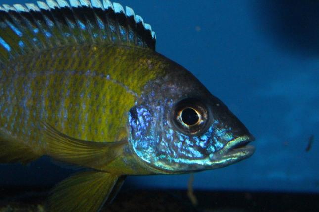 Aulonocara-Jalo-Reef-WF