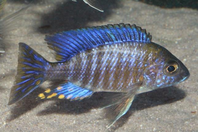 Aulonocara-ethelwynnae-NZ