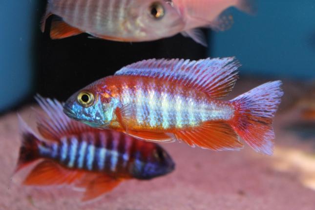 Aulonocara-eureka-rot Selektiopnszucht