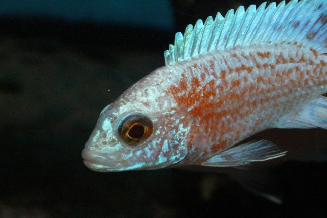 Aulonocara-firefish-perlmutt-Hybriden