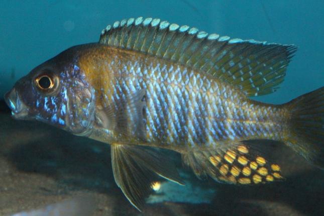 Aulonocara-gertrudae-WF