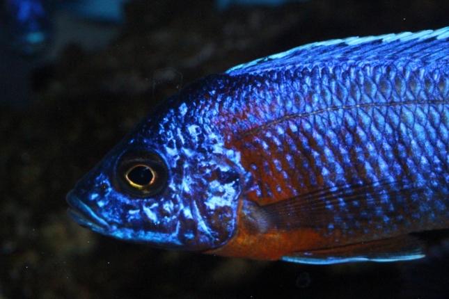 Aulonocara-hansbaenschi-red-flush-NZ