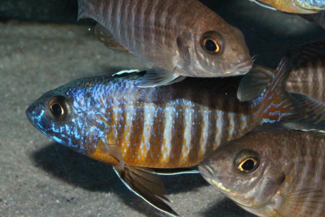 Aulonocara-hueseri NZ
