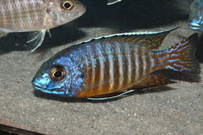 Aulonocara-hueseri-NZ