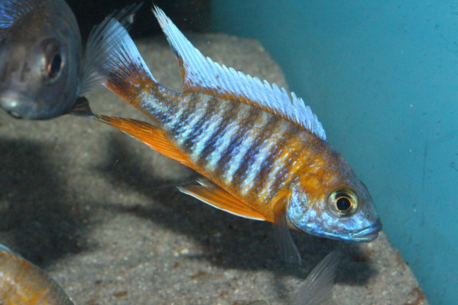 Aulonocara-jacobfreibergi-Cape-Maclear NZ