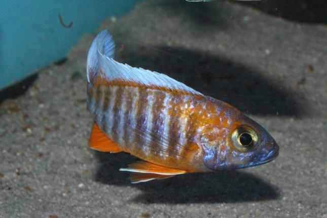Aulonocara-jacobfreibergi-Cape-Maclear-NZ