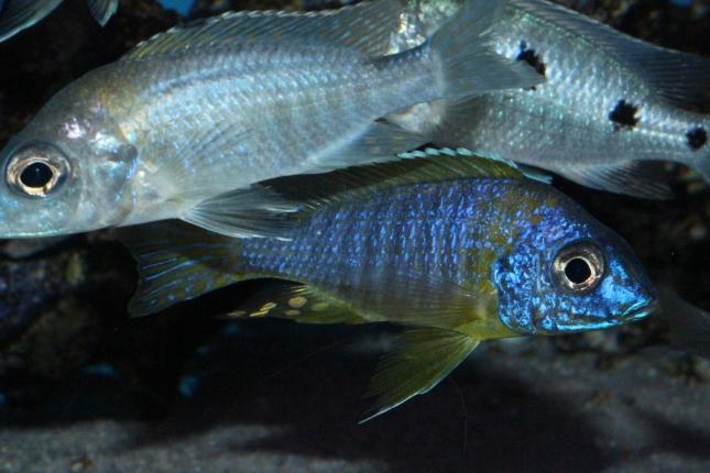 Aulonocara-korneliae-WF