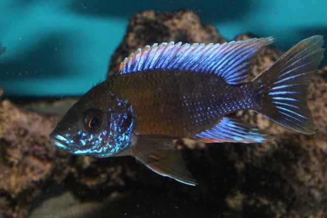 Aulonocara-lwanda-Hai-Reef-NZ