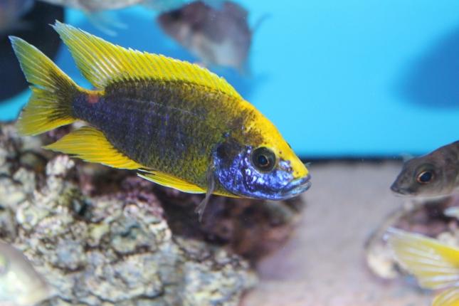 Aulonocara-mamelela-Undu-Reef NZ