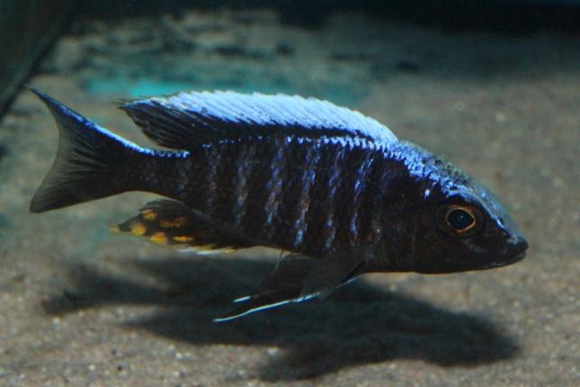 Aulonocara-maylandi-kandeensis-NZ