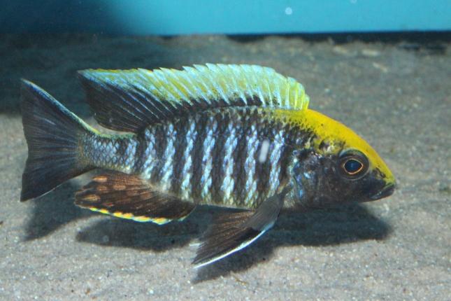 Aulonocara-maylandi-maylandi-Eccles-Reef-WF