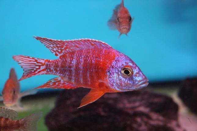 Aulonocara-red-rubin Selektion