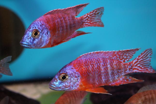 Aulonocara-red-rubin-Selektion