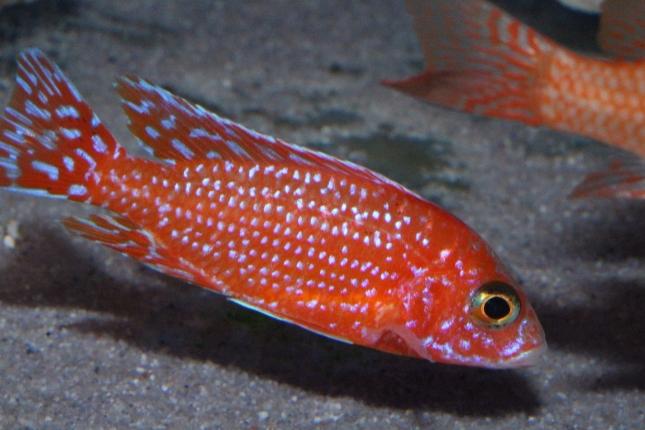 Aulonocara-sp.-firefish Hybride