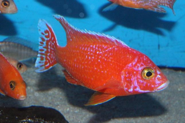 Aulonocara-sp.-firefish-Hybrid