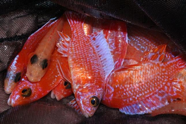 Aulonocara-sp.-firefish-Hybride
