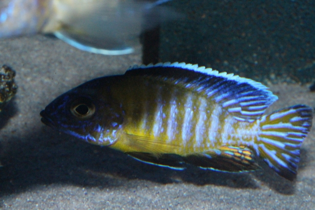 Aulonocara-steveni-usisya-WF