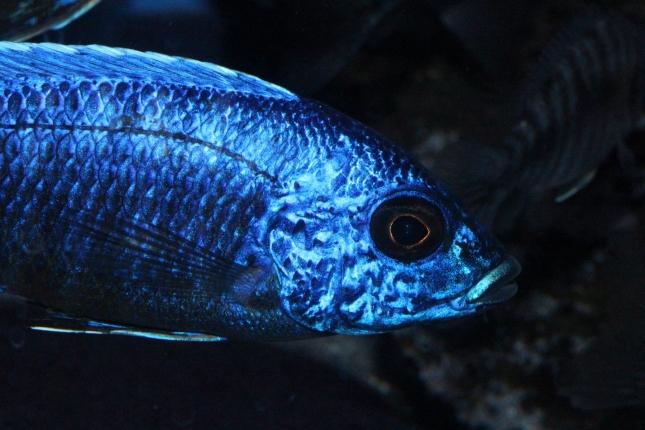 Aulonocara-stuartgranti-Chilumba-NZ