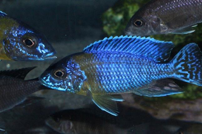Aulonocara-stuartgranti-Chitimba-maulana-NZ