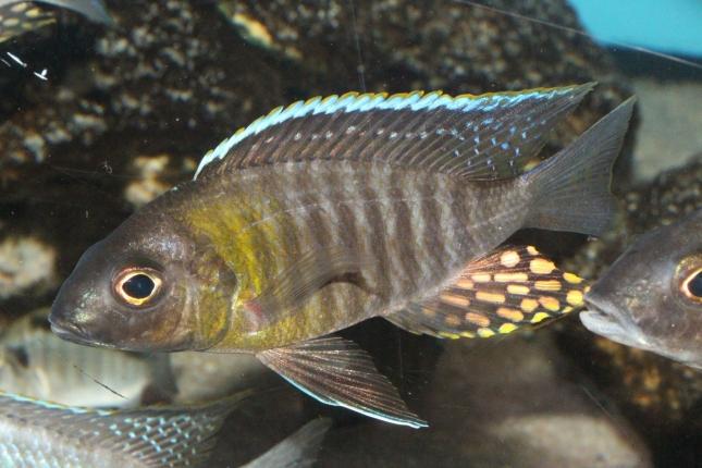 Aulonocara-yellow-collar-Mazinzi-Reef-WF-9