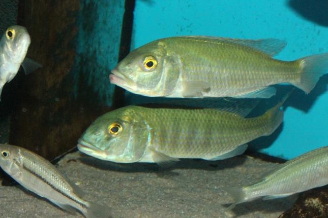 Buccochromis-lepturus-WF
