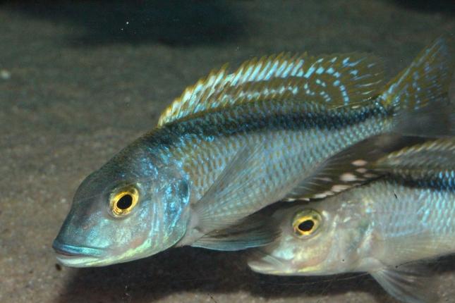 Buccochromis-nototaenia-NZ