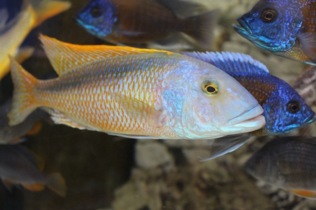 Buccochromis-rhoadesi NZ