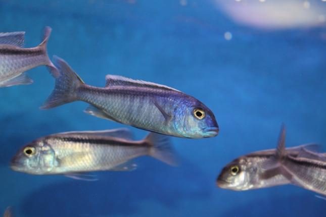 Buccochromis-spectabilis-NZ