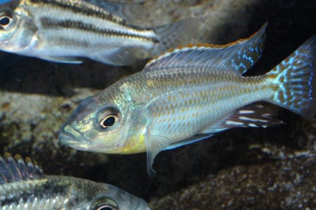 Cheilochromis-euchilus-F1