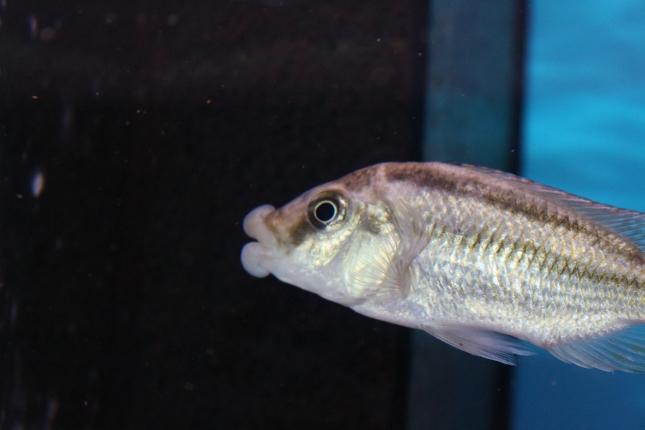 Cheilochromis-euchilus-Wildfang
