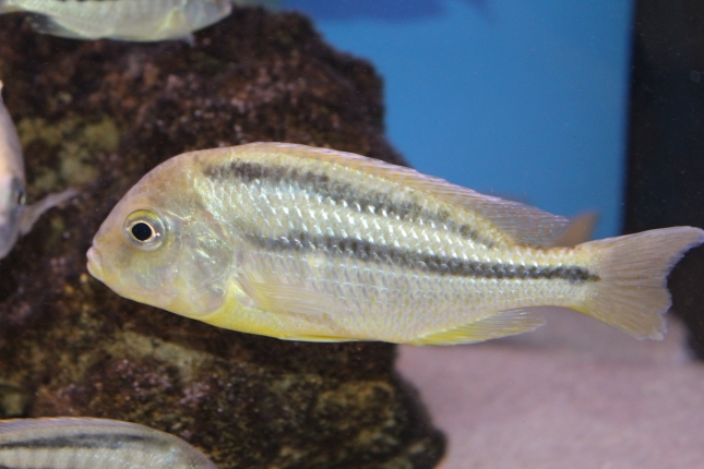 Chilotilapia-rhoadesii-Eccles-Reef-WF