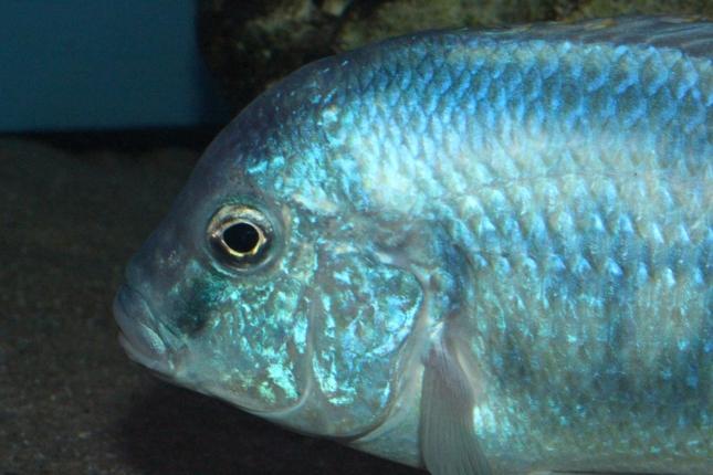 Chilotilapia-rhoadesii-WF