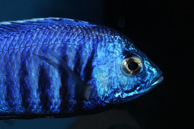 Copadichromis-azureus-Mbenji-WF