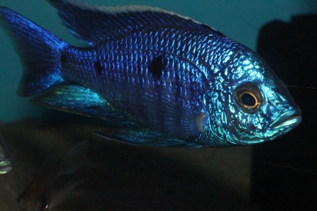Copadichromis-azureus-Mbenji-WF-67