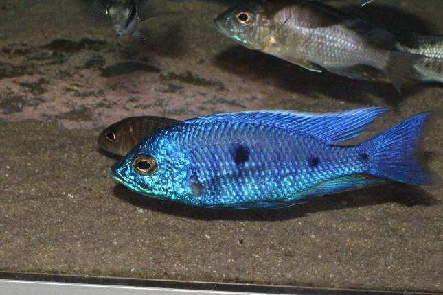 Copadichromis-azureus-Mbenji-WF-68
