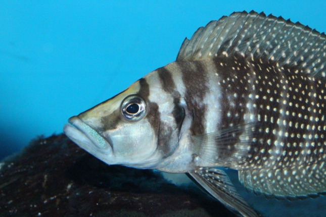 Altolamprologus-calvus-black-Lupota-WF