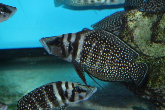Altolamprologus-calvus-black-Sambia-WF