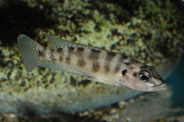 Altolamprologus-fasciatus-NZ