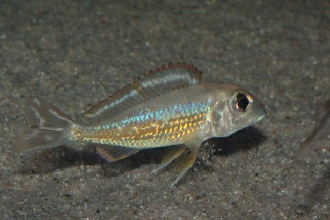 Callochromis-pleurospilus-Kigoma-NZ