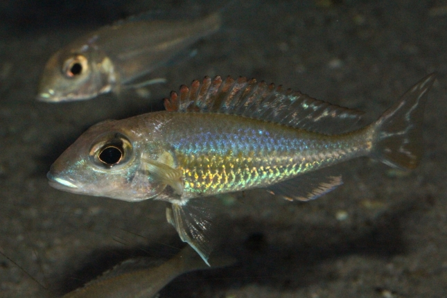 Callochromis-pleurospilus-Ujiji-NZ