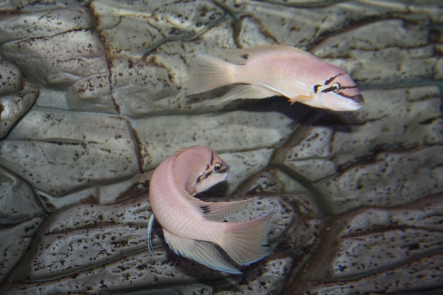 Chalinochromis-brichardi-black-mask WF