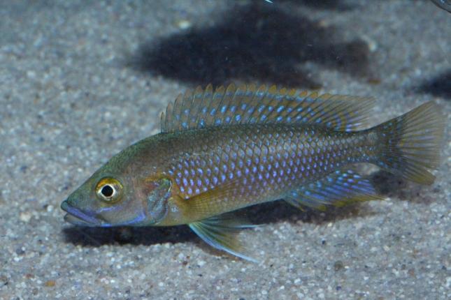 Ctenochromis-benthicola-NZ