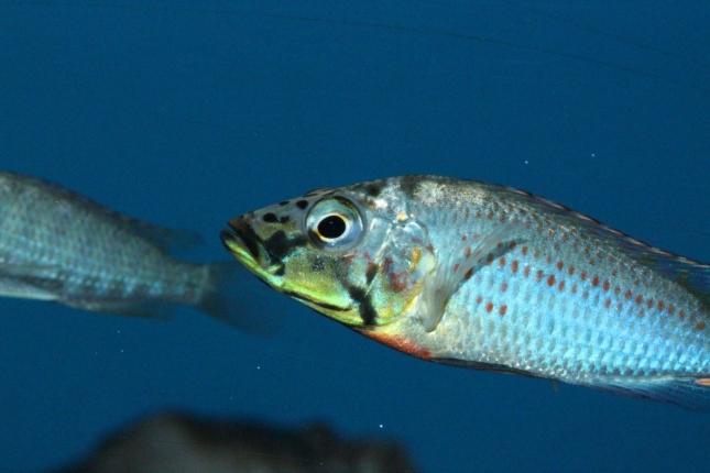 Ctenochromis-horei-NZ
