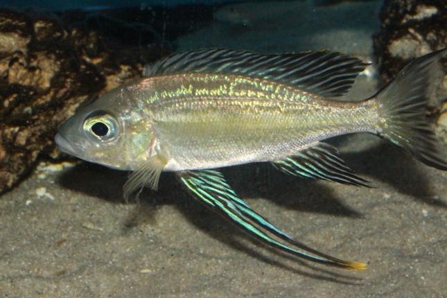 Cyathopharynx-foai-Kasakalawe-NZ
